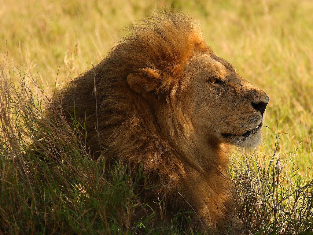 ライオンの画像 p1_28